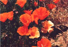 Closeup of poppies