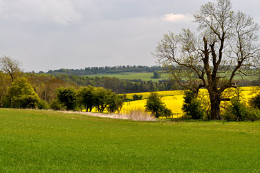 Field of rape, Cotswolds, Goucestershire, England, UK