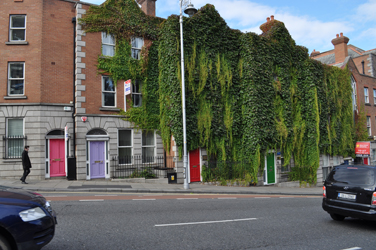 Multiple colors, overgrown ivy, Dublin, Ireland. Photo by David Wineberg