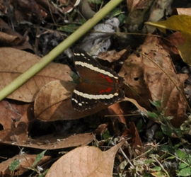 Butterfly, Parque Metropolitano Panama City, Panama