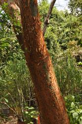 Indio Desnudo tree, Parque Metrolitano, Panama City, Panama