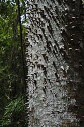 Spiked tree, Parque Metropolitano, Panama City, Panama